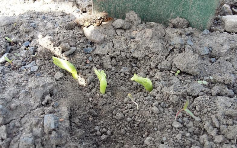Fava Bean shoots